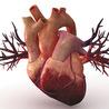 Circulatory system (heart)