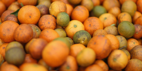 Citrus Greening Disease Epidemic Prompts Emergency Action From USDA - Huffington Post | Plant Based Transitions | Scoop.it
