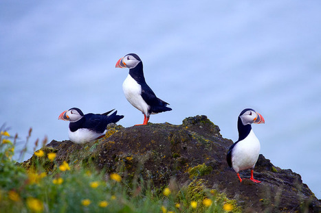 Dyrholaey Puffins | Puffins of the North Atlantic, Dyrholaey, Iceland | Richard Bernabe | Digital Photo Addicts | Scoop.it