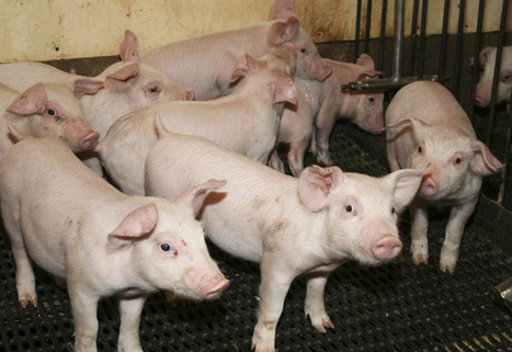 L'entreprise brésilienne JBS avale la filière porcine de Cargill | Questions de développement ... | Scoop.it