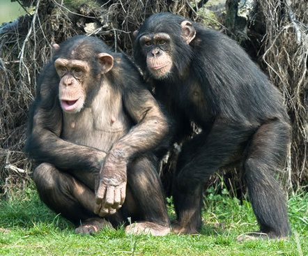 Identification of gene that influences joint attention in chimpanzees provides insight into autism spectrum disorders | enjoy yourself | Scoop.it