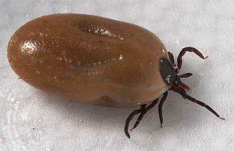 Tick genome reveals secrets of a successful bloodsucker | Amazing Science | Scoop.it