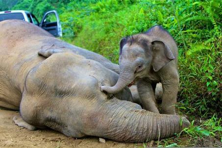 Le prix de l'huile de palme : une famille entière d'éléphants pygmées empoisonnés en Malaisie - notre-planete.info | Sauvegarde et Protection des animaux | Scoop.it