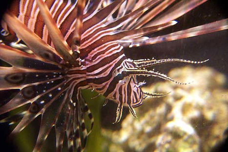 Scuba divers pitted against lionfish in a eco-gladiator battle | All about water, the oceans, environmental issues | Scoop.it