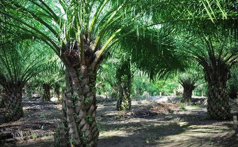 Multinationals drop palm oil supplier as sustainability certifications start to bite | Sustainable Procurement News | Scoop.it