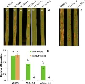 The Role of Mitogen-Activated Protein (MAP) Kinase Signaling Components in the Fungal Development, Stress Response and Virulence of the Fungal Cereal Pathogen Bipolaris sorokiniana | Plant-Microbe Interaction | Scoop.it