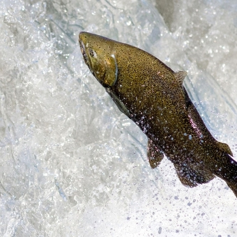 Washington's Salmon Supply Is on Prozac and Cocaine   @FoodMeditations Time   Scoop.it