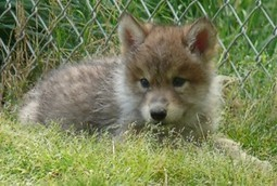 About Wolves - Wolf Facts | wolf | Scoop.it