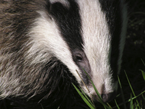 Vets Challenge British Veterinary Association's continued support for badger culls | Animal welfare | Scoop.it