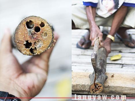 Tamilok (woodworm) actually tastes good! - langyaw | Philippine Travel | Scoop.it