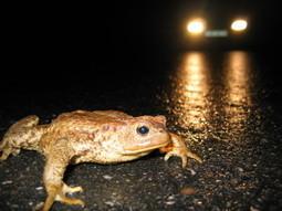 Campagne de sauvetage des amphibiens en Isère : nous avons besoin de vous ! | Tourisme en pays viennois | Scoop.it