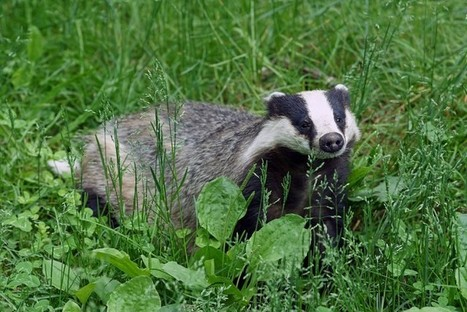 Are Badgers to Blame for Declining Hedgehogs? - Conservation Articles & Blogs - CJ | Wildlife and Conservation | Scoop.it