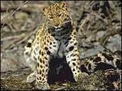 BBC NEWS | Science/Nature | Rare leopard 'faces extinction' | IB CORE 3: PATTERNS IN ENVIRONMENTAL QUALITY AND SUSTAINABILITY | Scoop.it
