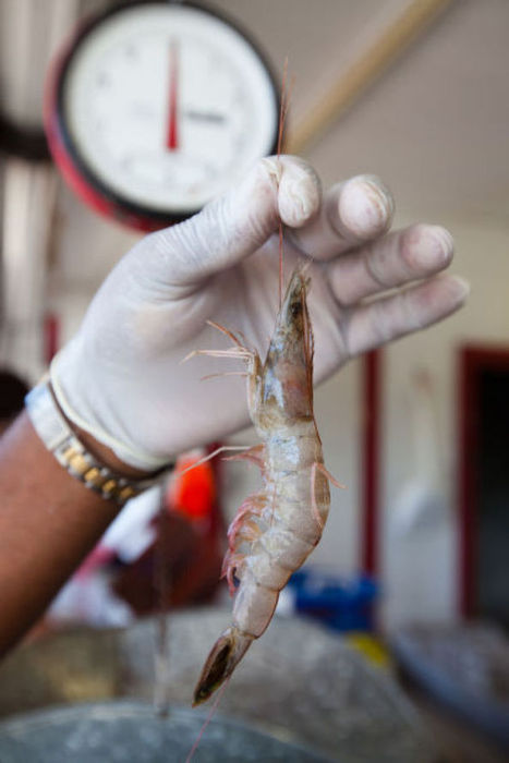 Shrimp lovers feel pain of dwindling supply : Business | Arizona Daily Star | CALS in the News | Scoop.it