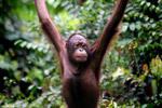Borneo may lose half its orangutans to deforestation, hunting, and plantations | Environmental Happenings | Scoop.it
