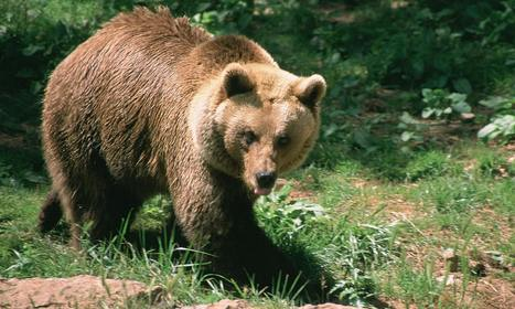 Alpha-male bear facing castration as sexual dominance threatens population   Animal rights   Scoop.it