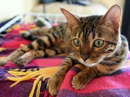 Dossier > Notre chat domestique à l'origine de la civilisation | Aux origines | Scoop.it