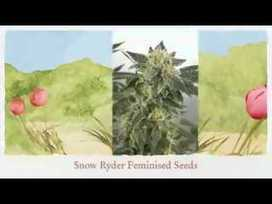 Want To know About Cannabis Seeds? | Cannabis Seeds | Scoop.it