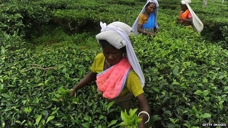 Tea-plucking machines threaten Assam livelihoods | Meagan's Geoography 400 | Scoop.it