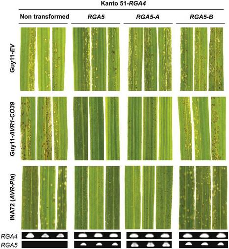 Plant Cell: The Rice Resistance Protein Pair RGA4/RGA5 Recognizes the Magnaporthe oryzae Effectors AVR-Pia and AVR1-CO39 by Direct Binding (2013) | Effectors and Plant Immunity | Scoop.it