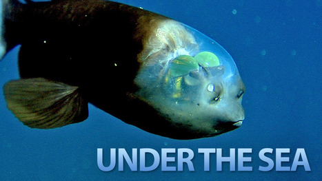 Is your dive buddy one of the 7 Weirdest Creatures Under The Sea? | Indigo Scuba | Scoop.it