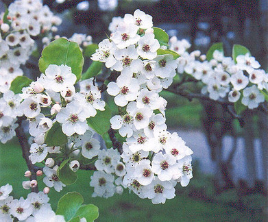 Low-maintenance Monday: The Callery pear – Canadian Gardening Blog | Annie Haven | Haven Brand | Scoop.it