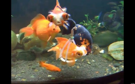 WATCH: Disabled Goldfish Swims With A Harness | READ WHAT I READ | Scoop.it