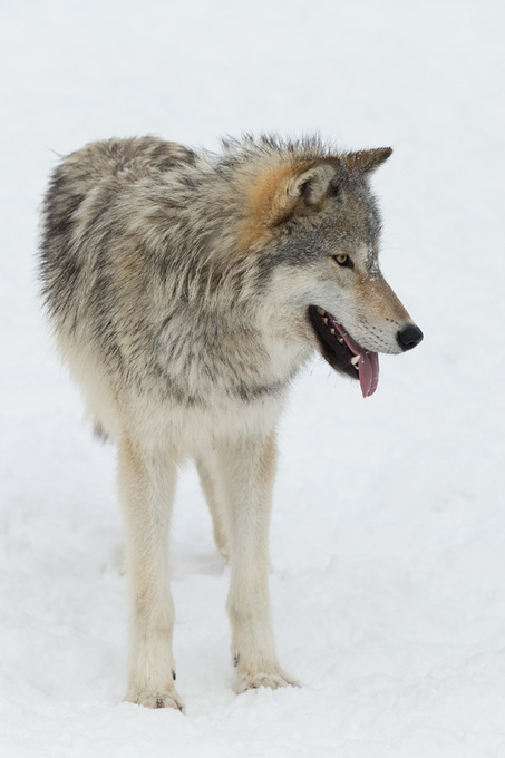 Companion Animal Psychology: How do Hand-Reared Wolves and ... | Animals R Us | Scoop.it