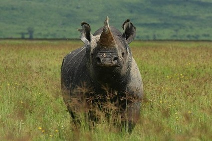 Wildlife Trade Experts Oppose Use of Synthetic Rhino Horn as Anti-Poaching Measure | What's Happening to Africa's Rhino? | Scoop.it