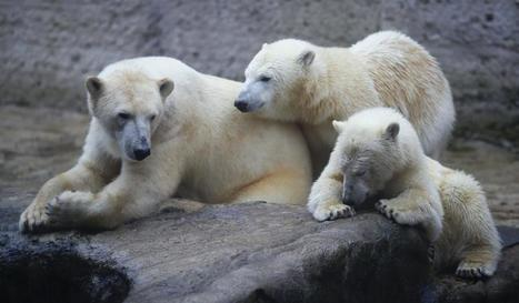 Polar Bears to Start Dying Off in 10 Years, Thanks to Climate Change | Climate change challenges | Scoop.it
