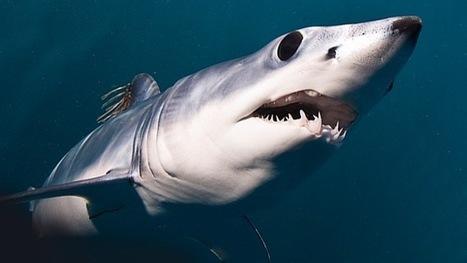 Un buzo retrata cara a cara al tiburón más aterrador del océano   Vale la pena Ver o Leer.   Scoop.it