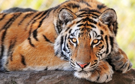 #FF #Poachers in #Pahang may have just Killed a #Tiger - Clean #Malaysia only 350 left #extinction | Messenger for mother Earth | Scoop.it