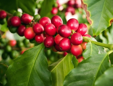 While Highly Toxic Insecticide is Phased Out, Coffee Farmers Struggle to Adapt | Coffee News | Scoop.it