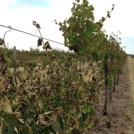 More Riverina vines damaged by frost   Harvest news   Scoop.it