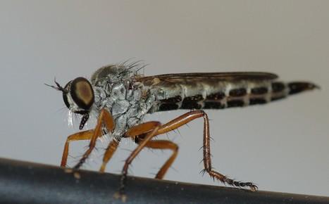 À propos des Asilidés, une famille de redoutables mouches carnassières | EntomoScience | Scoop.it