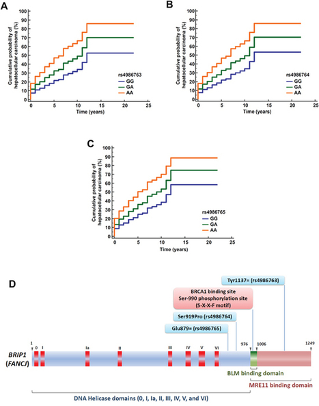 BRIP1 coding variants are associated with a high risk of hepatocellular carcinoma occurrence in patients with HCV- or HBV-related liver disease | Oussalah | Oncotarget | Hepatitis C New Drugs Review | Scoop.it