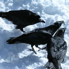 Ravens Use 'Hand' Gestures to Communicate | Quite Interesting News | Scoop.it