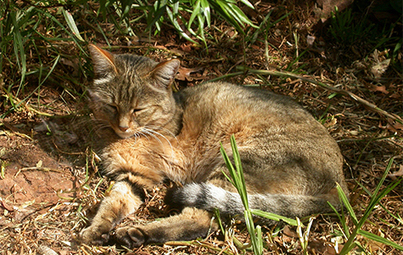 Cat domestication traced to Chinese farmers 5,300 years ago | Aux origines | Scoop.it