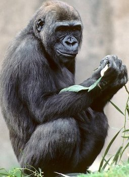 What have we got in common with a Gorilla? - Wellcome Trust Sanger Institute | Science -Facts and Fiction | Scoop.it