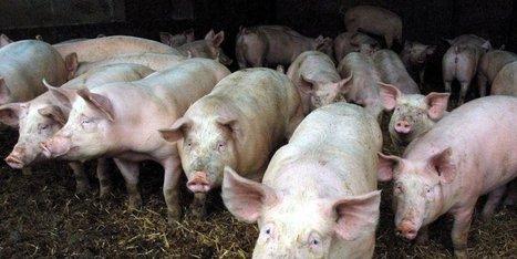Agonac (24) : les opposants à la porcherie s'organisent   Agriculture en Dordogne   Scoop.it