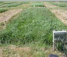 BBSRC mention/Doug Kell quote: Novel grass hybrid mitigates flooding impact | BBSRC News Coverage | Scoop.it