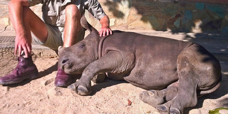 Baby rhino captures hearts - World - NZ Herald News | animals and prosocial capacities | Scoop.it