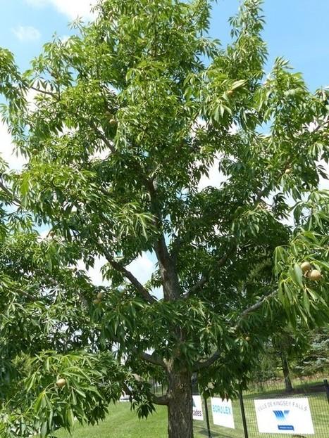 Photo d'Arbre : Marronnier de l'Ohio - Pavier de l'Ohio - Marronnier glabre - Aesculus glabra - Ohio buckeye | Rescoop -Faune - Flore - Environnement | Scoop.it