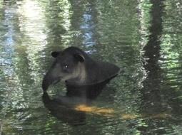 Tapir: Belize's NationalMammal | Belize in Social Media | Scoop.it