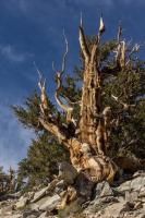 Ancient BristleconePine | California Travel | Scoop.it