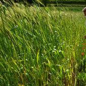 Les variétés paysannes de blé en voie de disparition | Nourrir la planète... autrement | Scoop.it
