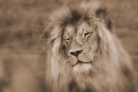 You can help stop Canned Lion Hunting | Trophy Hunting: It's Impact on Wildlife and People | Scoop.it