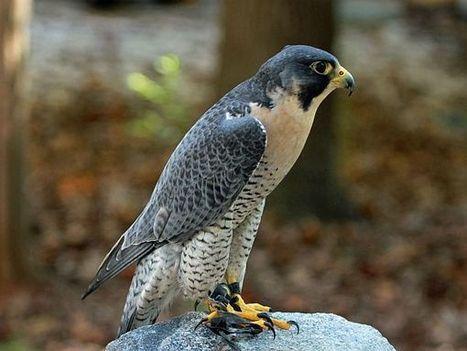 Birth Totem - Falcon   The New Light™   Scoop.it