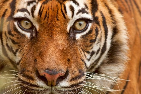 Poachers Are Killing Tigers to Sell Them for Their Bones. How We're Working to Stop This | Oceans and Wildlife | Scoop.it