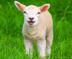 Schmallenberg virus poses little risk to humans | MicrobiologyBytes | Scoop.it